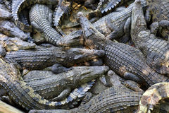 Many Crocodiles Stock Photo