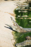 Many crocodiles swam. To the bank of the river Royalty Free Stock Photo