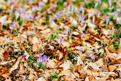 Many crocuses in dry autumn leaves. A field of crocuses in yello Royalty Free Stock Image