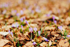 Many crocuses in dry autumn leaves. A field of crocuses in yello Stock Photos