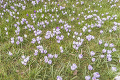Many crocuses on green grass Royalty Free Stock Images