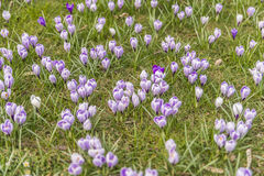 Many crocuses on green grass Royalty Free Stock Photography