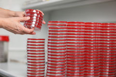Many cups of petra are on the table in a medical laboratory, close-up. Medical laboratory conducts research, petri dish, close-up Stock Photo