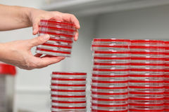 Many cups of petra are on the table in a medical laboratory, close-up. Medical laboratory conducts research, petri dish, close-up Royalty Free Stock Photo