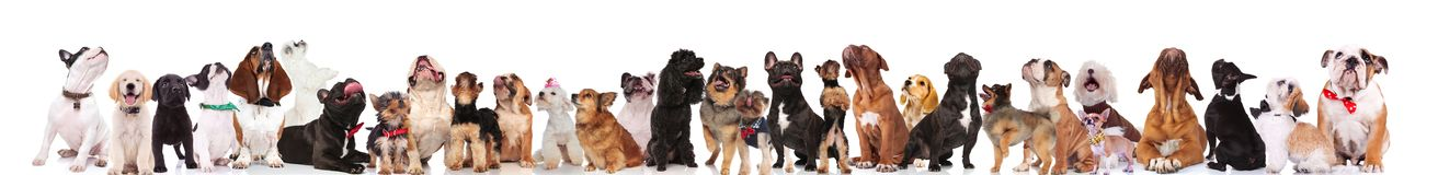 Many curious dogs of different breeds looking up. While standing, sitting and lying on white background. They are wearing colored collars and elegant bowties Stock Photo