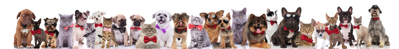 Many cute cats and dogs wearing bowties and sunglasses. Many cute cats and dogs wearing red and pink bowties and sunglasses while standing, sitting and lying on royalty free stock images