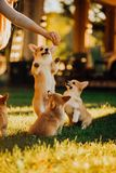Many cute puppys Welsh corgi dog play on grass in sunshine. green park on background royalty free stock photos