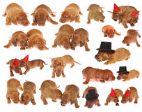 Many dachshund puppies. Many cute Dachshund Puppies on white isolated Royalty Free Stock Image