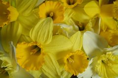Many daffodils Royalty Free Stock Photography