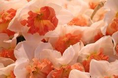 Many daffodils Royalty Free Stock Image
