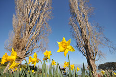 Many daffodils are surrounded by large oak trees Royalty Free Stock Image