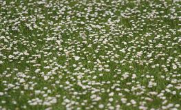 Many daisies that bloomed in the spring Royalty Free Stock Photo