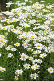 Many daisies in the garden Royalty Free Stock Images