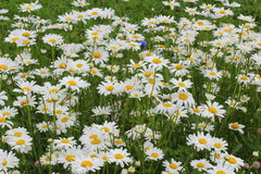 Many daisies in the garden Stock Images