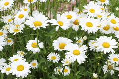 Many daisies in the garden Royalty Free Stock Photo