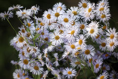 Many daisies in top view Stock Photos