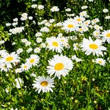 Many daisy flowers on meadow on atlantic coast. Travel to France - many daisy flowers on green meadow on atlantic coast in Paimpol town in Cotes-d'Armor Stock Images
