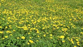Many dandelion flowers on the field. Nature. Spring. Yellow flowers on the field stock footage