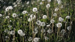 Many dandelions on the lawn in the park on a hot summer day become windy from the wind.Nature stock video