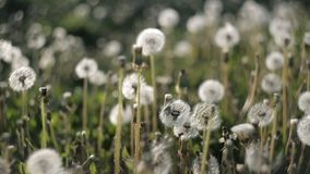 Many dandelions on the lawn in the park on a hot summer day become windy from the wind.Nature stock video footage