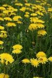 Many Dandelions, Taraxacum Royalty Free Stock Image