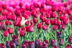 Many dark red tulips Stock Photography