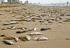 Many dead fishes on beach Stock Photos