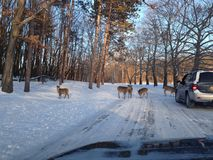 Many deer near suv 010. Bunch of deer in the winter near suv Stock Photos