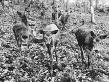 Deers. Many deers forest black&white Stock Photo