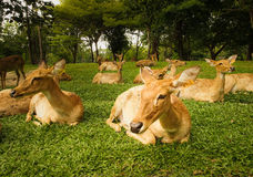 Many deers are laying on the green garden. The Khaokiew open zoo is showing how friendly of their animals are Stock Image