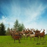 Many deers in wildlife Royalty Free Stock Photo