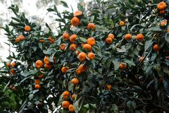 Many delicious tangerine fruits on the succulent green leaves tree. Conseption of the spring, new life in nature royalty free stock photography
