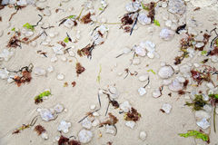 Many Died Jellyfish In Algae On Sand Stock Photo