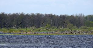 Goose birds in flood field, Lithuania. Many different birds in flood meadow in spring stock photo