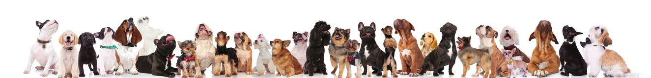 Many Different Breeds Of Dogs Looking Up Royalty Free Stock Image
