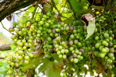 Different colored grapes on the grapevine stock photography