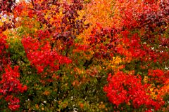 Many Different Colors of vibrant Fall Leaves on the same tree - background stock photography