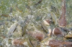 Crowd of many different fish eating feed in lake. Many different fish eating feed in lake at cave fish in wat Pratartmaejedee Stock Photo