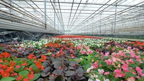 Many beautiful flowers in a greenhouse. 4K. Many different flowers in a greenhouse stock footage