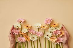Many different gerberas female hands are held on a yellow paper background. Greeting card for mother`s day or March 8. Flat lay royalty free stock photography