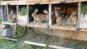 Many different rabbits in cage on the home farm. Many different rabbits in a cage on the home farm stock footage