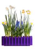 Many different spring flowers. In purple pot isolated on white Stock Photography