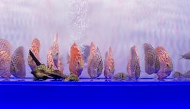 Many discus fishes Royalty Free Stock Image