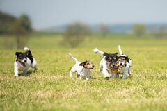 Free Many Dog Run And Play With A Ball In A Meadow. A Pack Of Jack Russell Terriers Pets Stock Photos - 172353403