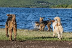 Many dogs playing on the shore of a lake stock image