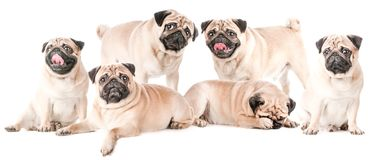 Many dogs, pugs, isolated. Collage Royalty Free Stock Photo