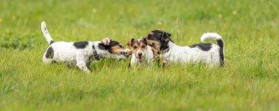 Many dogs run and play with a ball in a meadow - a cute pack of Jack Russell Terriers. Many cute dogs run and play with a ball in a meadow - a cute pack of Jack stock image