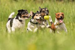 A pack of Jack Russell Terrier running and playing on a meadow royalty free stock images