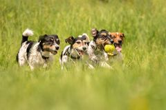 A pack of Jack Russell Terrier running and playing on a meadow. Many dogs run and play with a ball in a meadow - a cute pack of Jack Russell Terriers royalty free stock photos