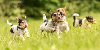 A pack of small Jack Russell Terrier are running and playing together in the meadow with a ball. Many dogs run and play with a ball in a meadow - a cute pack of royalty free stock photography